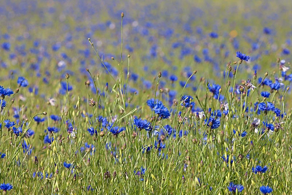 veld bloemen centaurea